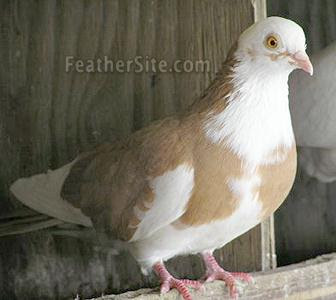 Galetini Roller Pigeon