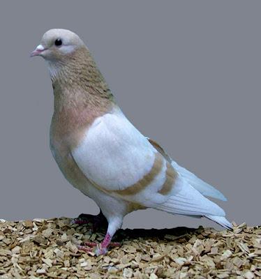 Arabian Trumpeter Pigeon
