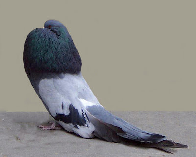 Old German Cropper Pigeon