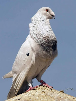 Gorguero Pouter Pigeon