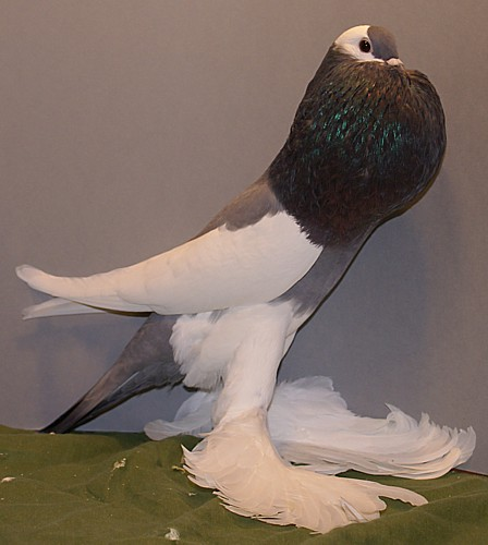 Reversewing Pouter Pigeon ~ ENCYCLOPEDIA OF PIGEON BREEDS