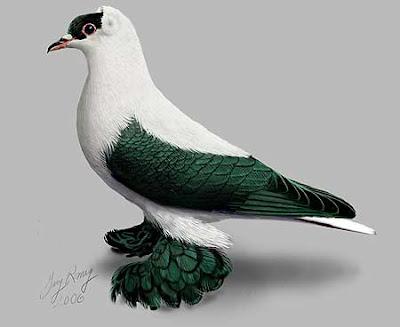 Nuremberg Swallow Pigeon