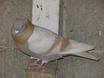 Armenian Tumbler Pigeon