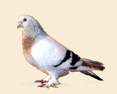 Asiatic Crack Tumbler Pigeon Takla