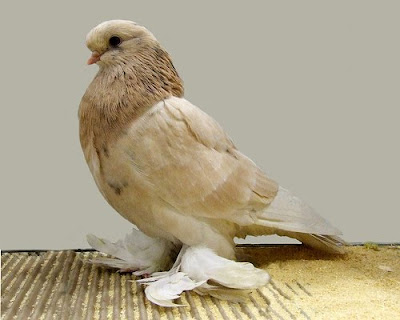 English Long Faced Muffed Tumbler Pigeon