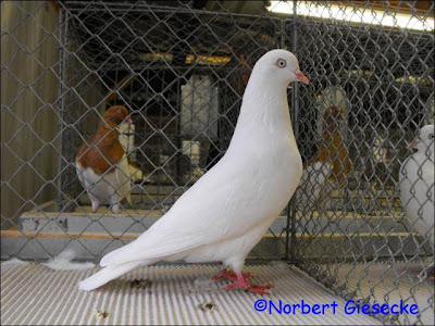 Cologne Tumbler Pigeon