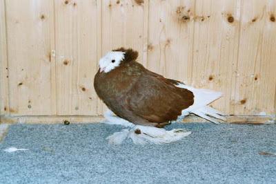Bernburg Trumpeter Pigeon