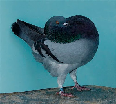 Holle Cropper Pigeon
