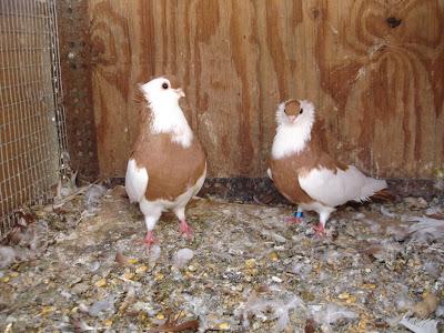 Komorner Tumbler Pigeon Felegyhazer Tumbler Pigeon
