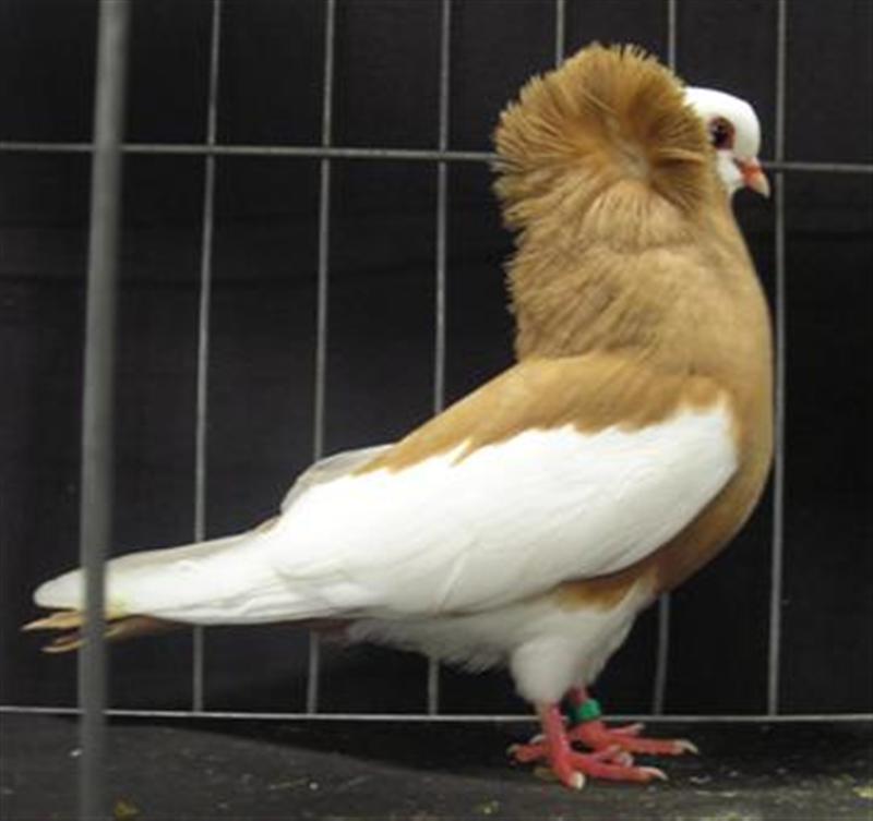 Komorner Tumbler Pigeon Pictures | Felegyhazer Tumbler ...