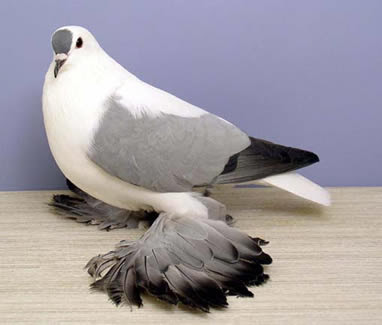 Saxon Fairy Swallow Pigeon