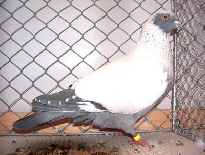 Danish Suabian Pigeon