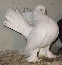 Kazan Tumbler Pigeon Rostov Tumbler Pigeon