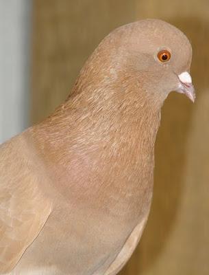 Syrian Coop Tumbler Pigeon