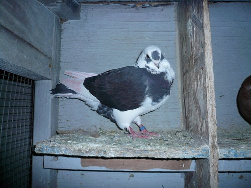 Doves For Sale >> Syrian Turbiteen Pigeon (Barbarisi Owl Pigeon) Pictures ...