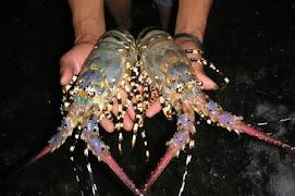 Udang Lobster