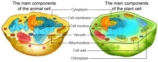 Similarities and differences between plant cells and animal cells