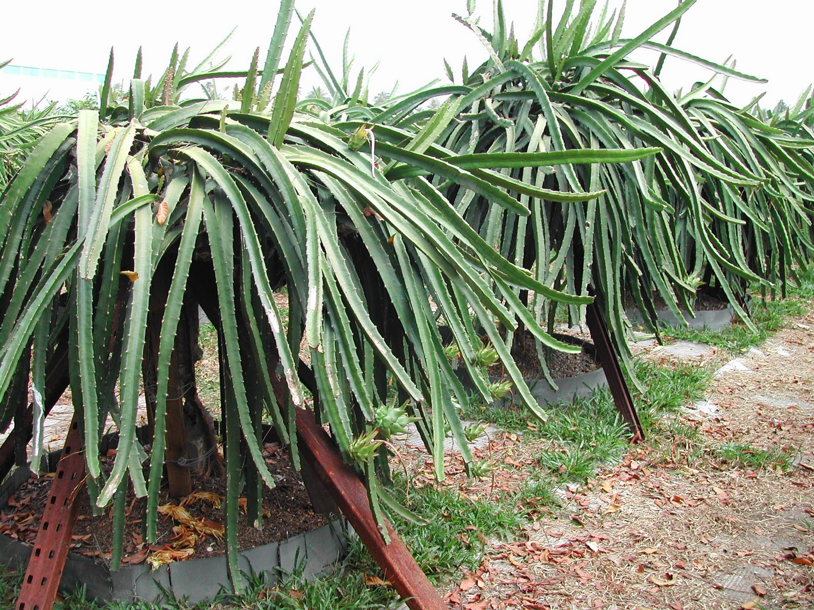 how to grow dragon fruit australia