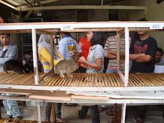 beberapa kelinci saat ajang kontes