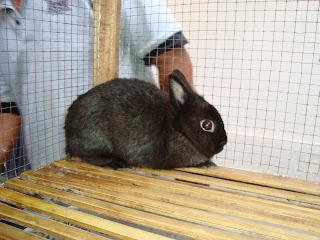 salah satu kelinci peserta kontes
