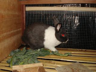 kelinci jenis dutch