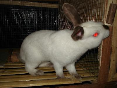 sejarah kelinci himalayan