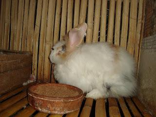kelinci anggora silangan