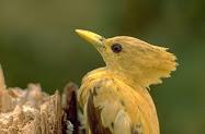Picapau Amarelo (Ribatejano)