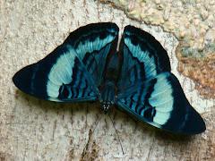 Butterfly Amazon