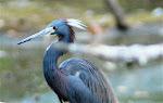 Tricolored Heron-Rio Lagartos
