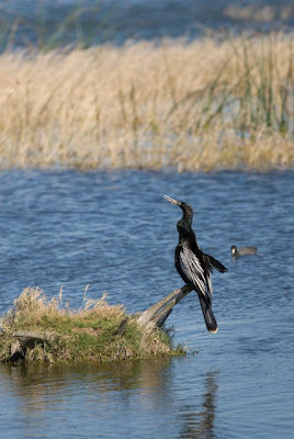This adult male Anhinga was shot by Mike Freiberg at Viera Wetlands with a ...