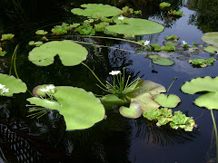 PEACE & TRANQUILITY -  Lilies on Lake Koena