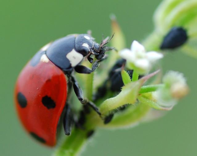 ladybirds - photo #28