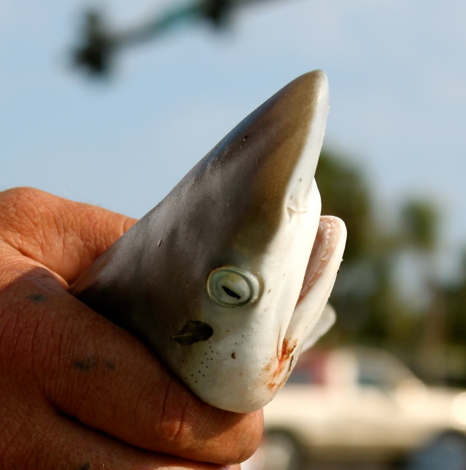 baby sharks pictures