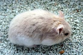 Harga Hamster Winter White Violet