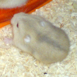 Hamster Winter White Blue Argente