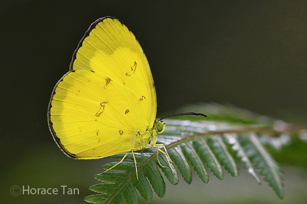 EA adult Acat2 02 Wingspan of Adult Butterfly: 60mm. Caterpillar Host Plants: Ilex cymosa ...