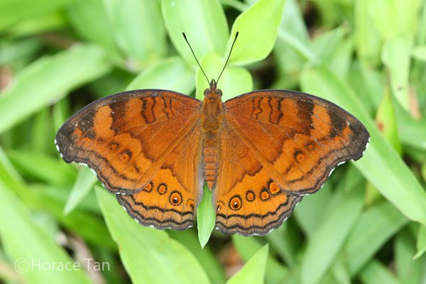 Wingspan of Adult Butterfly: 55-60mm. Caterpillar Local Host Plants: Ruellia ...