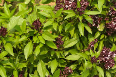 Thai Basil Plants