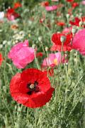 Lyon Poppies