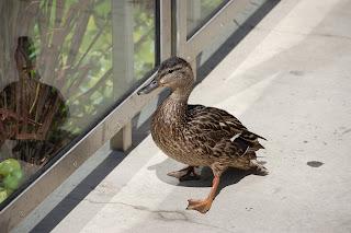 duck, city, reflection, walking