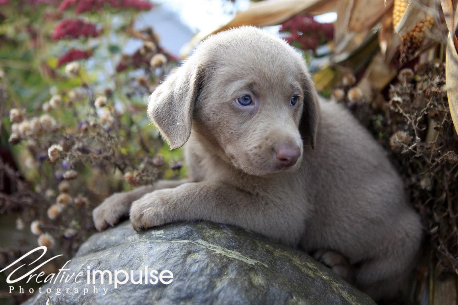 Silver Lab Puppies with Blue Eyes high resolution widescreen