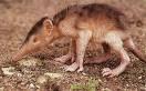 Top animales raros y casi extintos Hispanian+Solenodon+2