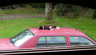 cat on car