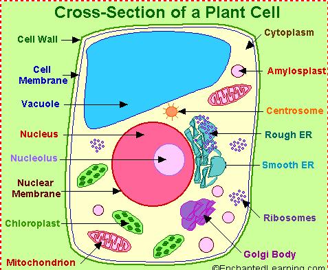 Sel haiwan dan sel tumbuhan