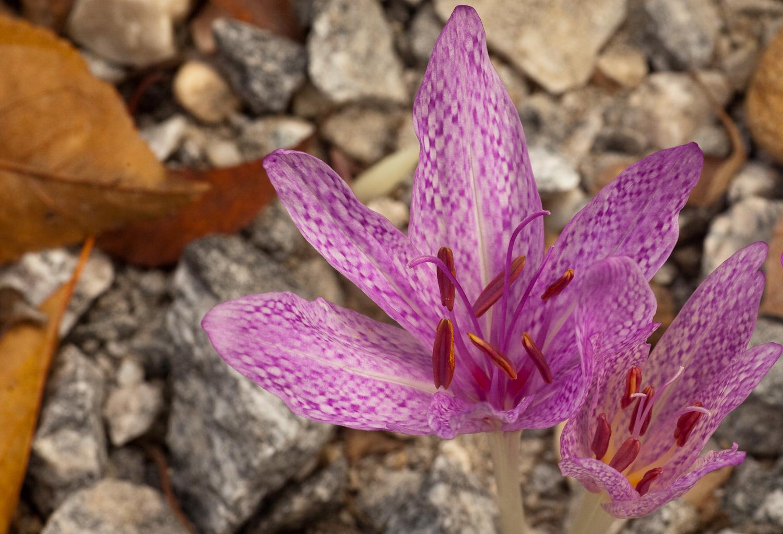 Нематантус комнатный цветок уход фото