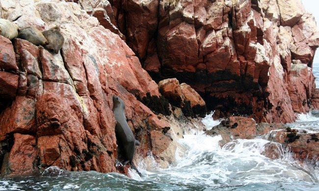leones marinos en las islas ballestas