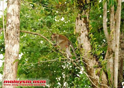Monkeys at Kinabatangan River