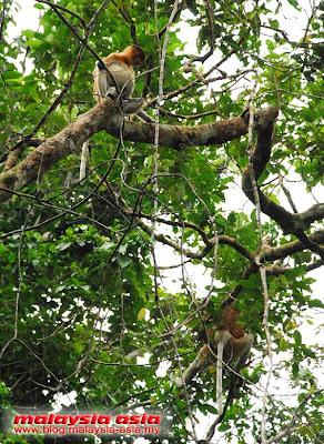 Proboscis at Kinabatangan River