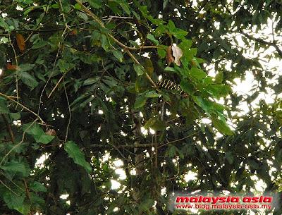 Snake at Kinabatangan River